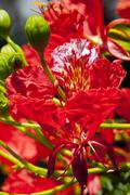 Red flamboyant flower Stock Photos