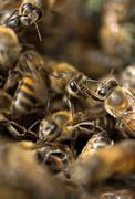 africanized italian honey bees in hive - stock photo