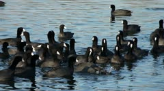 Ducks swimming in pond - stock footage