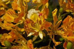 Orange flamboyant flower in full bloom - stock photo