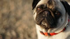 Pug dog looking at camera Stock Footage