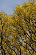 Pau brasil (brazil wood) mature flowering tree Stock Photos