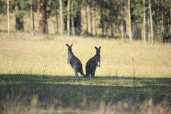 2 Kangaroos back to back Stock Photos