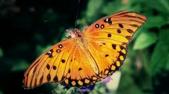 Stock Video Footage of Butterfly on flower about to fly