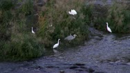 Stock Video Footage of Heron And Egrets In Hozu River At Arashiyama