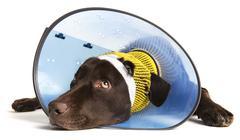 injured dog - stock photo