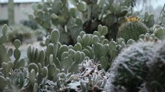 Unexpected snow in the Southern Arizona desert - Beaver Tail Cacti - stock footage