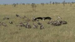VULTURES AT A FEAST - stock footage
