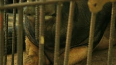 Hogs in a Cage Stock Footage