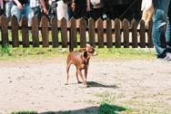 Stock Photo of pinscher