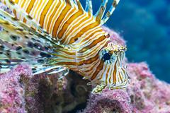 Lionfish in the sea Stock Photos