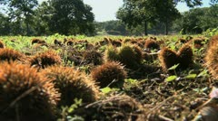 Chestnut Close Up 02 Stock Footage