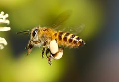 Honey bee collects flower nectar Stock Photos