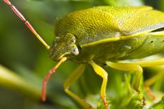 stink bug (nezara viridula) - stock photo