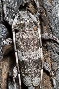 spotted pine sawyer (monochamus clamator) - stock photo