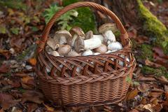 basket full of freshly picked mushrooms - stock photo