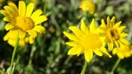 Stock Video Footage of yellow wild daisies moving in the wind