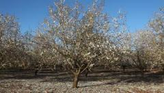 Deciduous trees blooming orchard Stock Footage