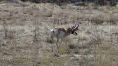 Pronghorn Antelope Stock Footage