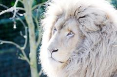 Stock Photo of white lion male