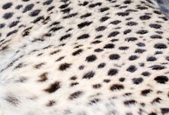 cheetah background - stock photo