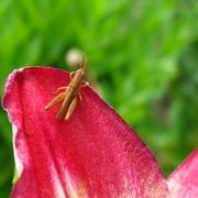 Young grasshopper on tulip Stock Photos