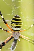 Orb-weaving spider (argiope bruennichi) Stock Photos