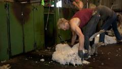Shearers shearing merino sheep Stock Footage