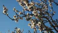 Stock Video Footage of Deciduous trees blooming orchard