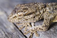 moorish gecko (tarentola mauritanica) - stock photo