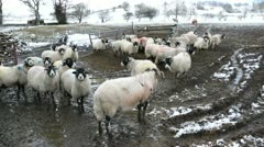 Swaledale sheep in english lake district in winter Stock Footage