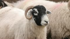 Close up of head of swaledale sheep Stock Footage