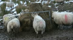 Sheep eating winter feed Stock Footage