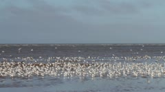 Black-headed seagulls on the beach at high tide Stock Footage