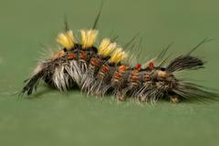 rusty tussock moth caterpillar - stock photo