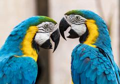 Macaws having an arguement Stock Photos