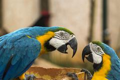 Macaw having an arguement Stock Photos