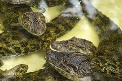 Baby alligators Stock Photos