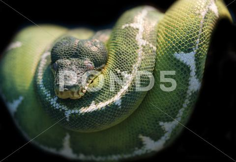Stock photo of emerald tree boa corallus caninus