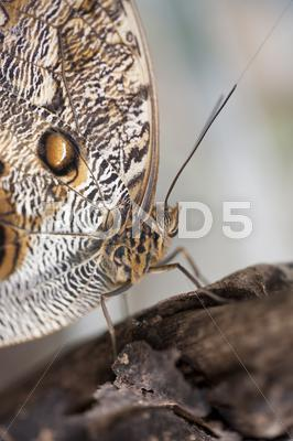 Stock photo of owl butterfly caligo eurilochus