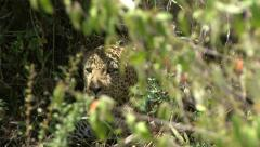 LEOPARD LOOKS THROUGH BUSHES - stock footage