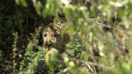 LEOPARD LOOKS THROUGH BUSHES Stock Footage