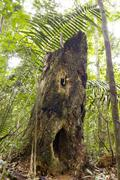 spooky looking decomposing tree stump in rainforest, ecuador, with holes rese - stock photo