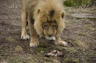 Male lion eating Stock Photos