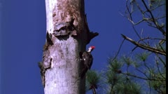 Pileated woodpecker makes nest Stock Footage