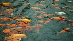 1920x1080 video - decorative fish - carp in pond Stock Footage