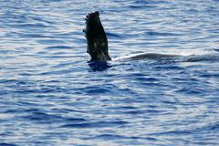 Side flipper of Humpback whale - stock photo