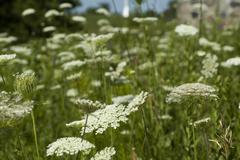 Field of Queens Anne Lace - stock photo