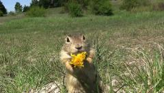 Ground squirrel in slow motion Stock Footage