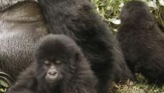 Mountain gorilla family moving past silverback Stock Footage